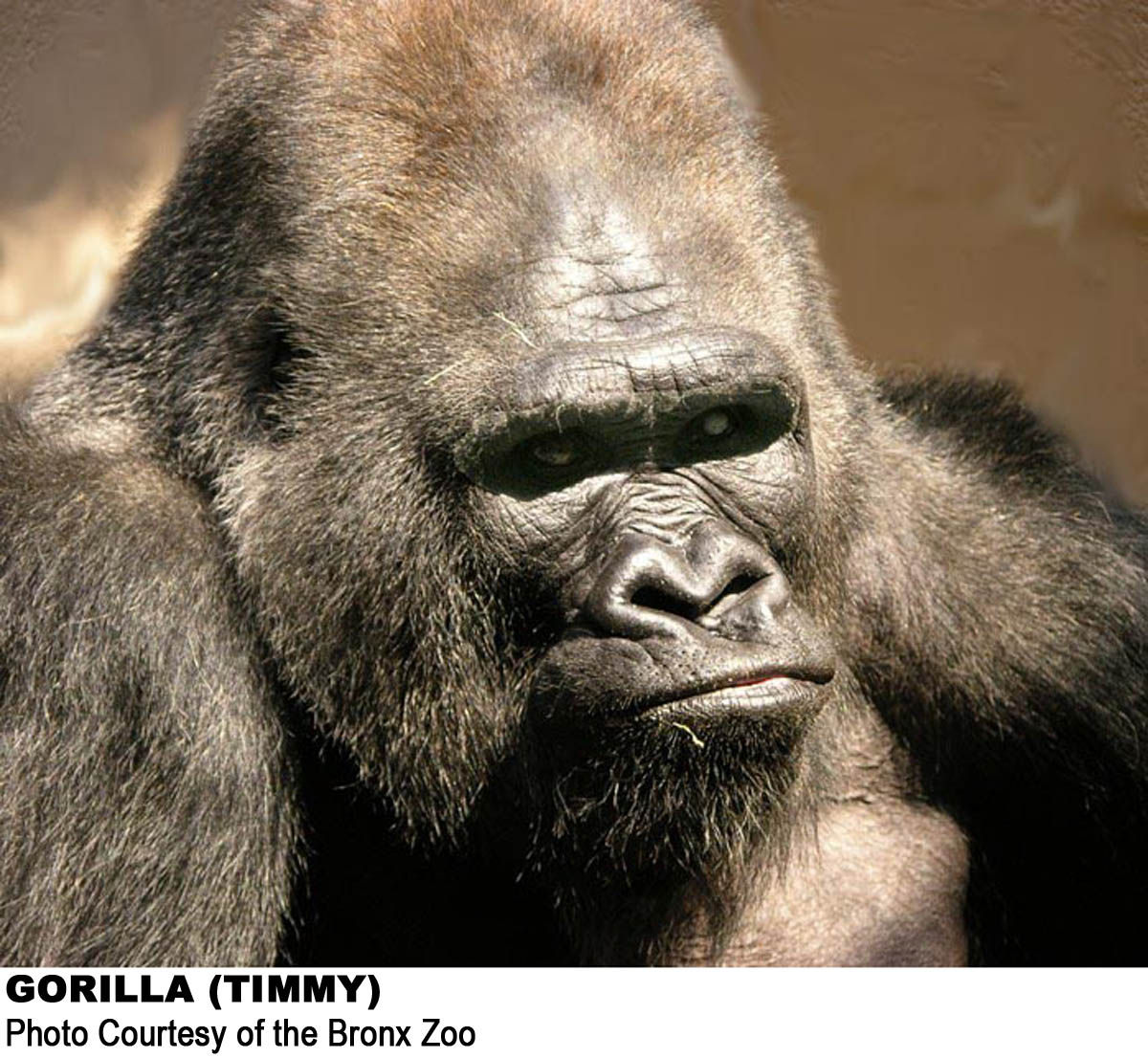 Timmy, The Louisville Zoo Gorilla