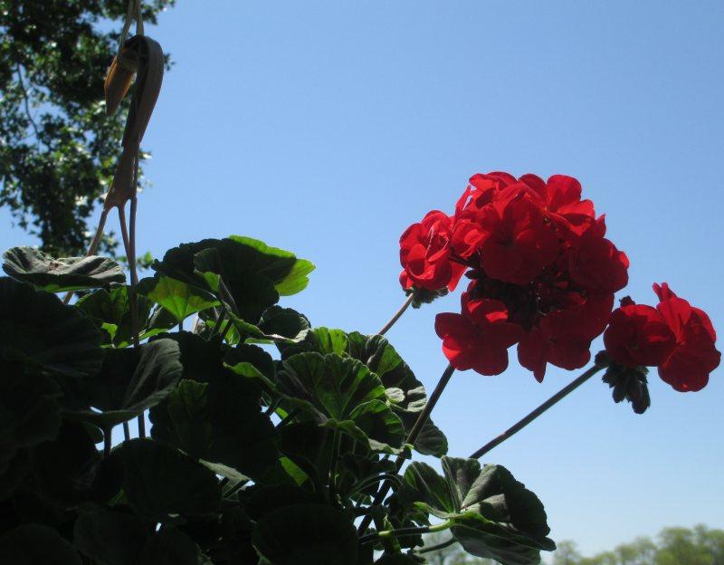 Hanging Geraniums