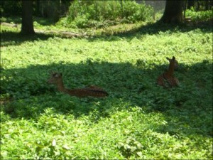 Beautiful deer at the Nature Station in Land Between the Lakes