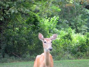 Deer, Green Turtle Bay Resort