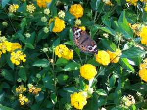 Gorgeous Butterfly at Kenlake State Resort Park, August 2011