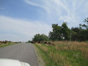 Elk and Bison Prairie Land Between the Lakes