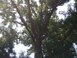 Tree at Kenlake State Resort Park, Summer 2011