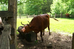 Oxen at the 1850's Homeplace