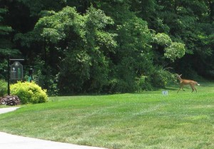 Deer on Dale Hollow Lake Golf Course