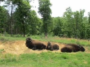 Bison at the Elk and Bison Prairie