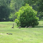 Canadian Geese near a Pond at Pennyrile Forest State Resort Park