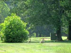 Canadian Geese at Pennyrile Forest State Resort Park