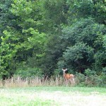 Deer at Pennyrile Forest State Resort Park