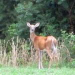 Deer at Pennyrile Forest State Resort Park