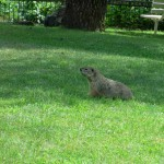 Groundhog at Pennyrile Forest State Park