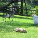 Groundhog at Pennyrile Forest State Park