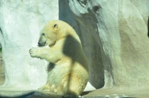 Siku Polar Bear - A Louisville Zoo Polar Bear!