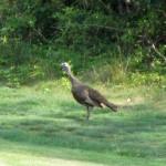 Turkey at Pennyrile Forest State Resort Park