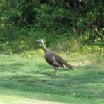 Turkey at Pennyrile Forest State Resort Park