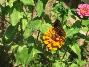 The 1850's Homeplace Butterfly on a Zinnia