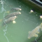 Carp at Rough River Lake Marina