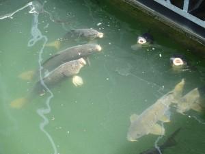 Carp at Rough River Lake Marina