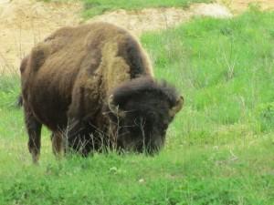 Elk and Bison Prairie, Land Between the Lakes