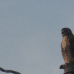 Hawk - Kentucky, July 25