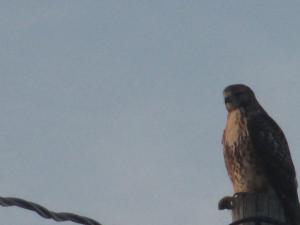 Hawk - Kentucky, July 25