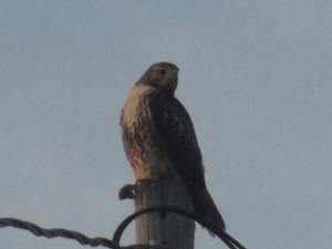 Kentucky Hawk