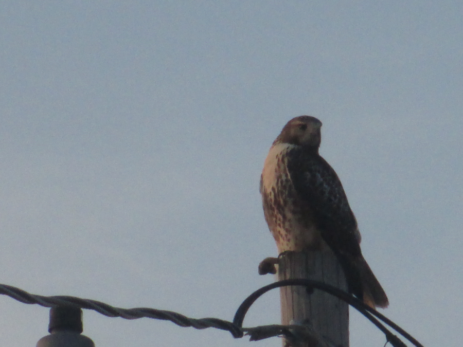 Hawk July 25, 2012