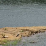 Heron on Rough River Lake