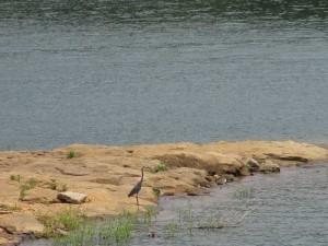 Heron on Rough River Lake