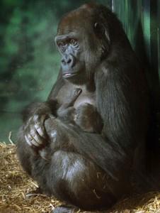 Louisville Zoo Gorillas