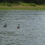 Geese on Rough River Lake