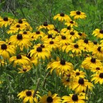 Black-Eyed Susans at Rough River Dam State Resort Park
