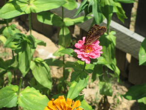 Beautiful butterfly enjoying a Zinnia at the1850's Homeplace.