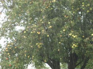 Apple Trees in the Rain