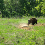 Bison at the Elk and Bison Prairie, Land Between the Lakes
