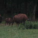 Kentucky Bison