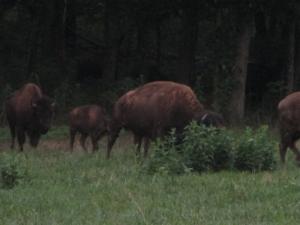 Kentucky Bison