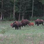 Bison, LBL's Elk & Bison Prairie