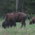 Bison in Kentucky