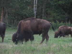 Bison in Kentucky