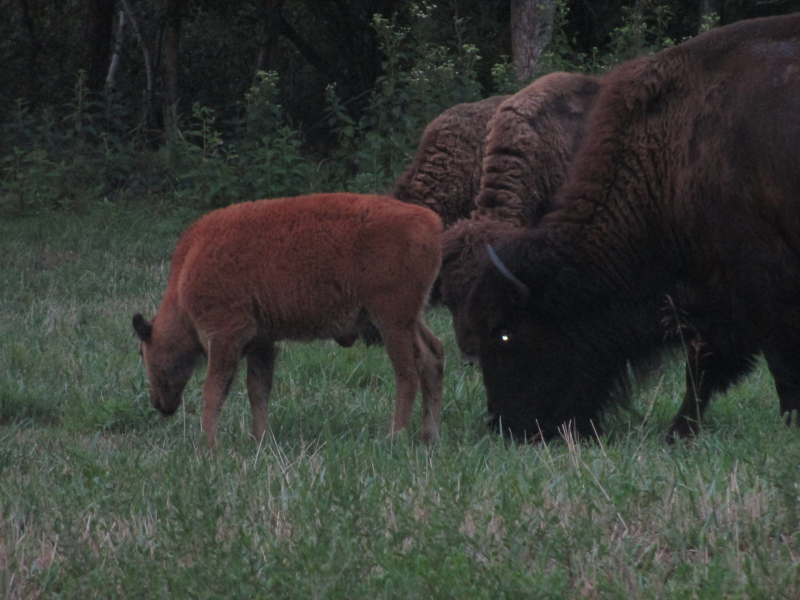 Bison at LBL's Elk and Bison Prairie