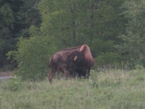 Bison, Land Between the Lakes