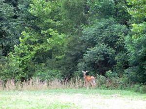 Deer Pennyrile Forest State Resort Park