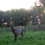 Elk and Bison Prairie, Land Between the Lakes (Kentucky)