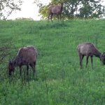 Elk and Bison Prairie, Land Between the Lakes (Kentucky)