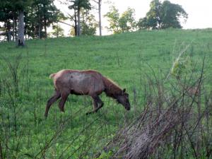 Elk and Bison Prairie, Land Between the Lakes (Kentucky)Elk and Bison Prairie, Land Between the Lakes (Kentucky)