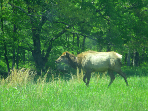 Elk at the Elk and Bison Prairie, Land Between the Lakes