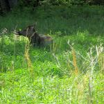 Elk at the Elk and Bison Prairie, Land Between the Lakes