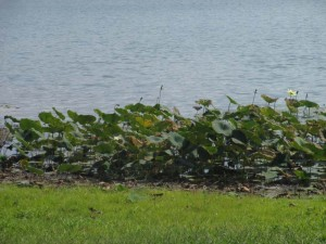 Loch Mary Lake's lily pads