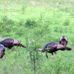 Turkeys in the Elk & Bison Prairie, Land Between the Lakes.